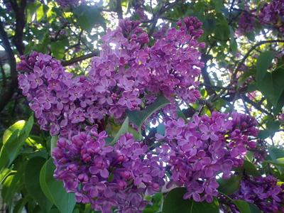 flori de liliac-400px